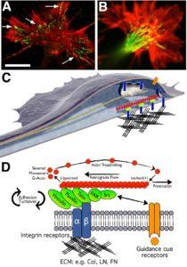 Growth cones assemble macromolecular adhesion complexes (point contacts) that link ECM proteins to actin filaments. A.