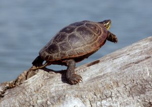 A turtle leaps off a log
